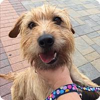Adopt A Pet :: Toto - Manassas, VA