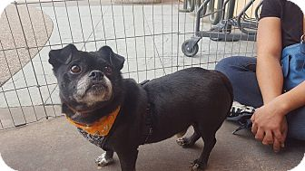 Pug/French Bulldog Mix Dog for adoption in San Diego, California - Maylo