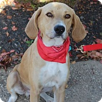 Labrador Retriever/Saluki Mix Dog for adoption in Cincinnati, Ohio - Archie