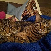 Adopt A Pet :: Tiger & Pepper ~ Bonded Brothers - Toms River, NJ