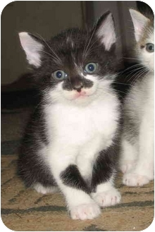Domestic Shorthair Kitten for adoption in Cincinnati, Ohio - Robin's kittens