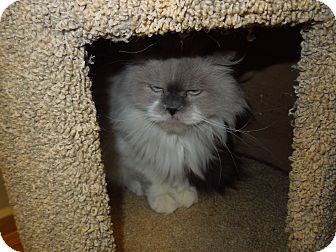 Persian Cat for adoption in Medina, Ohio - Ying