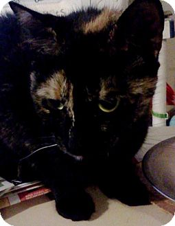 Domestic Shorthair Cat for adoption in Huntsville, Ontario - Wakoona - Terrific Tortie!