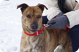 Boxer/Terrier (Unknown Type, Medium) Mix Dog for adoption in Elyria, Ohio - Bubba-Prison Dog