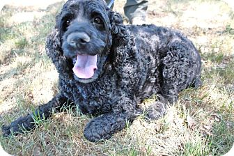 Cocker Spaniel Dog for adoption in Tacoma, Washington - RILEY