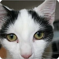 Adopt A Pet :: Domino - Frederick, MD