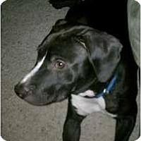 Adopt A Pet :: Bingo - Fresno, CA