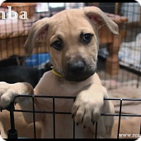 Adopt A Pet :: Simba - Rockwall, TX