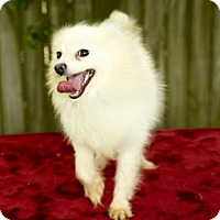 Adopt A Pet :: Mochi-Little Puff of Fun !!--S  Video - Alvin, TX