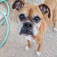 Adopt A Pet :: Pennylane - Las Vegas, NV