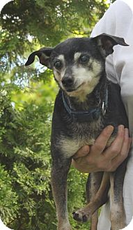 Rat Terrier Mix Dog for adoption in Livonia, Michigan - Scooter