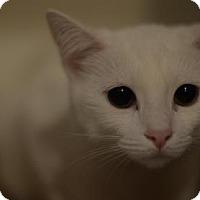 Manx Cat for adoption in Gainesville, Florida - Spookie