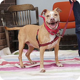 American Pit Bull Terrier Mix Dog for adoption in Mt Vernon, New York - Autumn