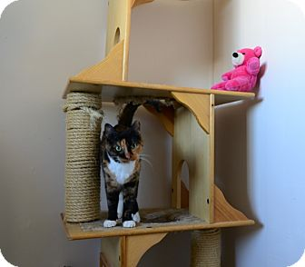 Domestic Shorthair Cat for adoption in Gardnerville, Nevada - Sasha