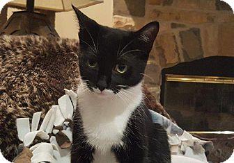 Domestic Shorthair Cat for adoption in Wauconda, Illinois - Ellie