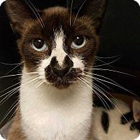 Siamese Cat for adoption in Acworth, Georgia - Obsidian