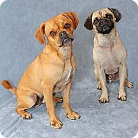 Adopt A Pet :: Solo - Encinitas, CA