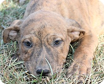 Dutch Shepherd/American Bulldog Mix Puppy for adoption in East Dover, Vermont - Scout - LAST PUP - REDUCED