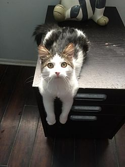 Domestic Mediumhair Kitten for adoption in Los Angeles, California - Korey
