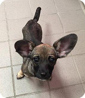 Chihuahua/Dachshund Mix Puppy for adoption in Matawan, New Jersey - Lila