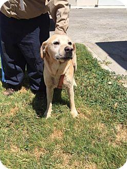 Labrador Retriever Dog for adoption in Del Rio, Texas - Gunner