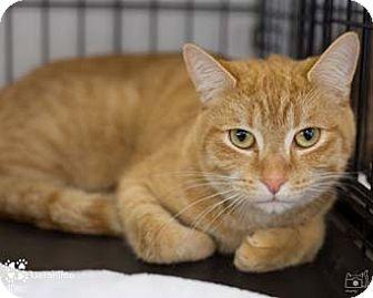 Domestic Shorthair Cat for adoption in Merrifield, Virginia - Geronimo