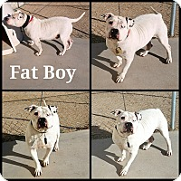 Adopt A Pet :: Fat Boy - California City, CA