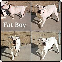American Bulldog/Pit Bull Terrier Mix Dog for adoption in California City, California - Fat Boy