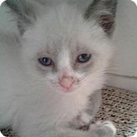 Snowshoe Kitten for adoption in Fort Lauderdale, Florida - Meetoo