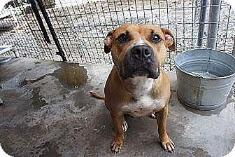 Boxer Mix Dog for adoption in Columbia, Maryland - Rosette