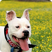 American Bulldog Mix Dog for adoption in Millington, Tennessee - Neena