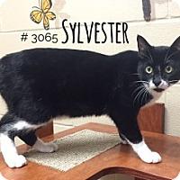 Adopt A Pet :: Sylvester - Alvin, TX