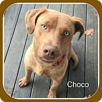 Adopt A Pet :: CHOCO - Malvern, AR