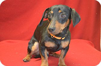 Dachshund Mix Dog for adoption in New Cumberland, West Virginia - Nubs