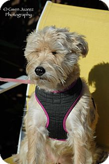 Wheaten Terrier/Schnauzer (Standard) Mix Dog for adoption in Houston, Texas - Jill