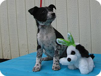 Feist/Australian Cattle Dog Mix Puppy for adoption in Humboldt, Tennessee - Paisley