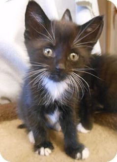 Domestic Shorthair Kitten for adoption in Reston, Virginia - Thor