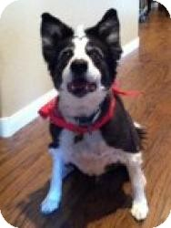 Border Collie Mix Dog for adoption in Las Vegas, Nevada - Daisy