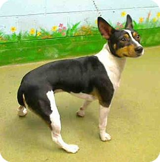 Rat Terrier Mix Dog for adoption in Seattle, Washington - Cody