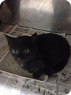 American Shorthair Kitten for adoption in Lancaster, Virginia - Kitten