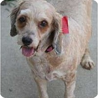 Adopt A Pet :: Sandy - Westfield, IN