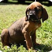 Adopt A Pet :: Beaux - Staunton, VA