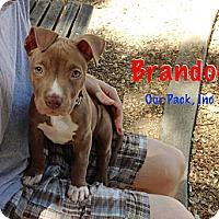 Adopt A Pet :: Brandon - San Jose, CA