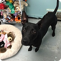 Adopt A Pet :: Dobby - Schererville, IN
