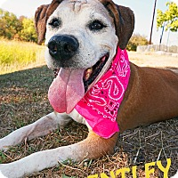 Adopt A Pet :: Bentley - Converse, TX