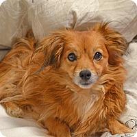 Adopt A Pet :: Lollie - Old Saybrook, CT
