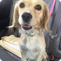 Adopt A Pet :: Brandy - Manhattan Beach, CA