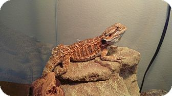 Lizard for adoption in Aurora, Illinois - Jaq