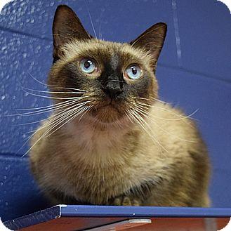 Siamese Cat for adoption in Canastota, New York - Tory
