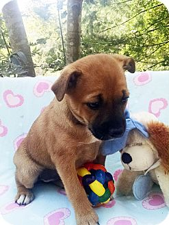 Boxer/Shar Pei Mix Puppy for adoption in Marion, North Carolina - Trixie
